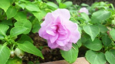 小さなバラ1