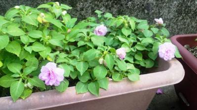 小さなバラ2