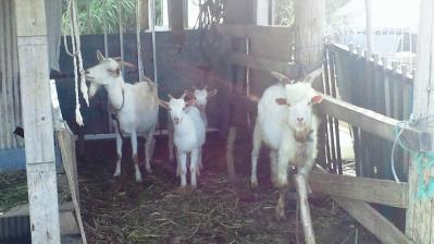 山羊の親子3
