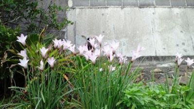 ピンクの花1