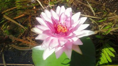 ハスの花ピンク1