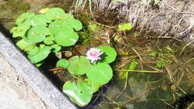 ハスの花ピンク2