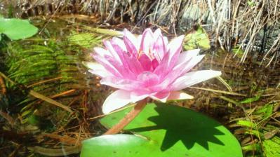 ハスの花ピンク3