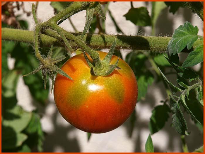 tomato23.jpg