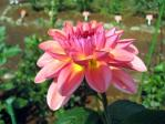 神代植物公園のダリア「成人式」