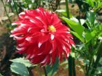 神代植物公園のダリア「サンタクロース」