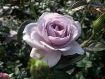 神代植物公園の薔薇「ブルーバユー」