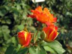 神代植物公園の薔薇「ふれ太鼓」