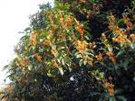神代植物公園の金木犀