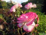 新宿御苑の薔薇「ニコール」