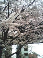 image桜1