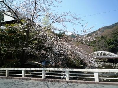 はつ花近くの桜