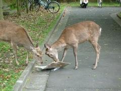 奈良女の鹿4