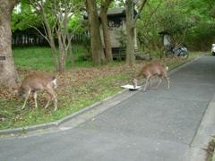 奈良女の鹿2