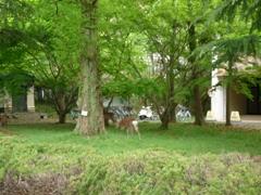 奈良女の鹿1