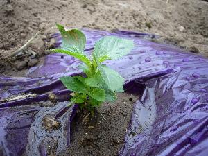 2007年 モロヘイヤの苗