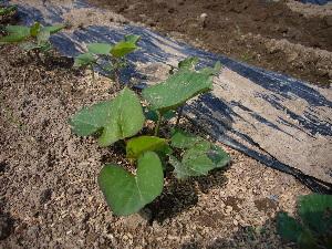 2007年野菜