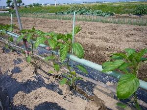 2007年 野菜