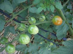 ☆ミニトマト