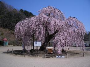 ☆古賀志町 孝子桜