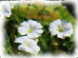 カスミの花