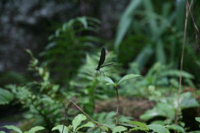 【宿】庭のクロトンボ