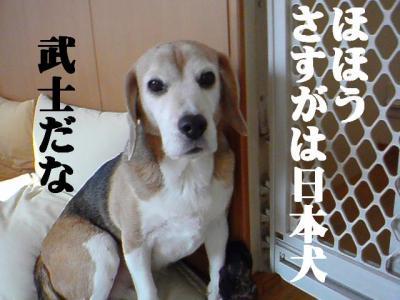 さすがは日本犬