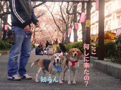 桜祭り 4