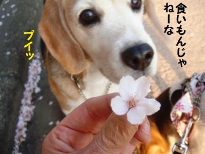 散り桜 2