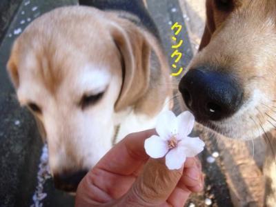散り桜 3