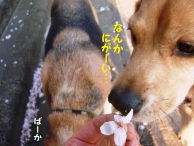 散り桜 5