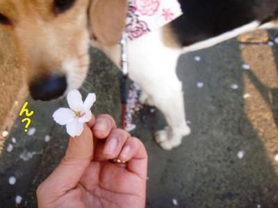 散り桜 6