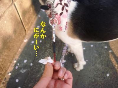 散り桜 8