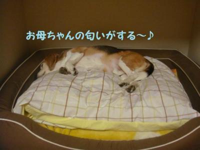 犬部屋 春支度3