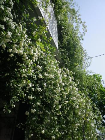 rosa3_20110506090336.jpg