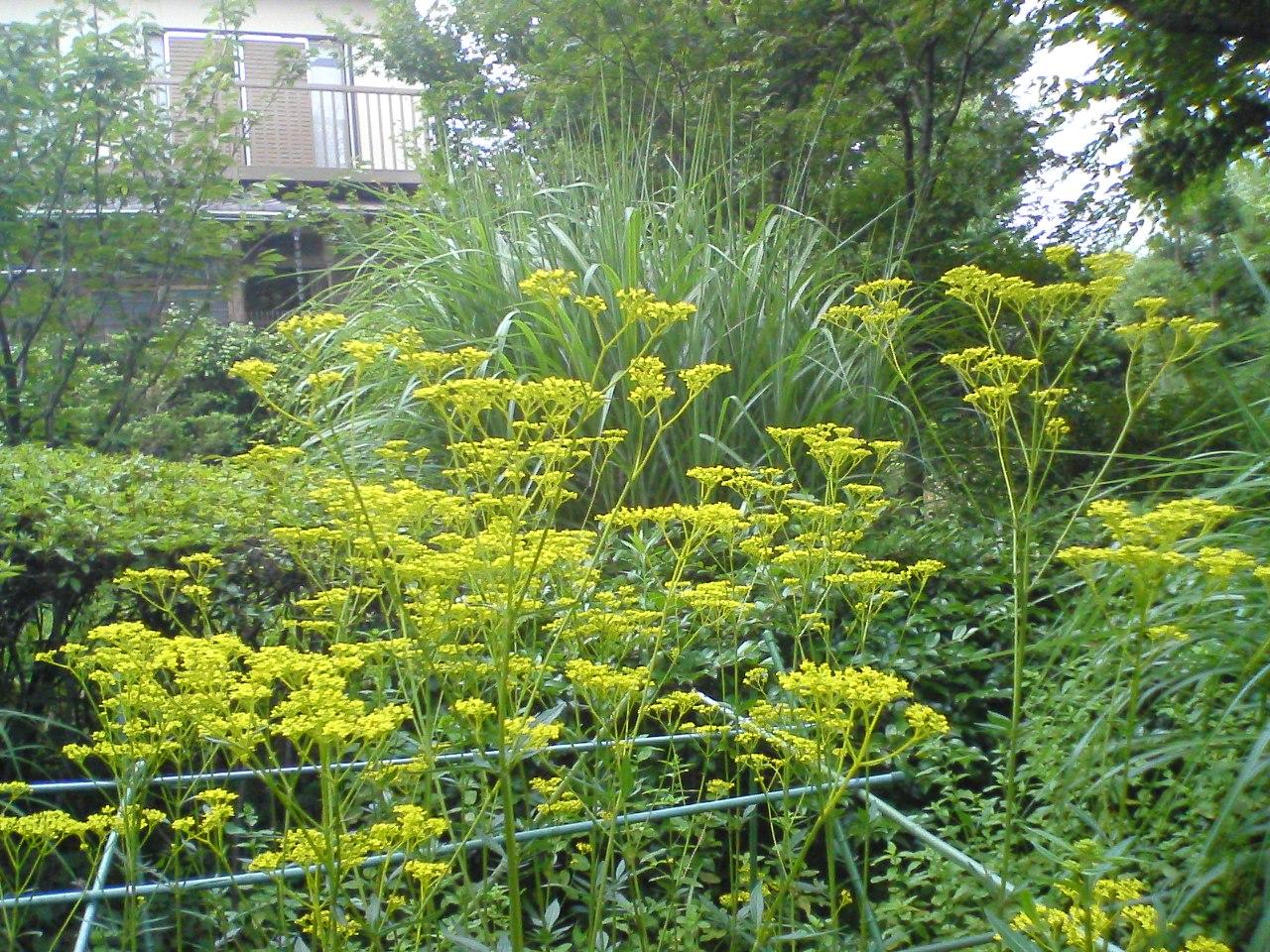 赤塚植物園のオミナエシ