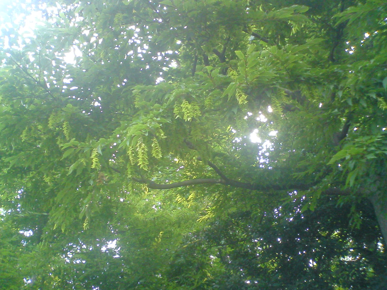 赤塚植物園のイヌシデ