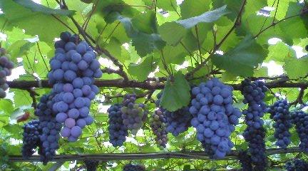 8-18 葡萄