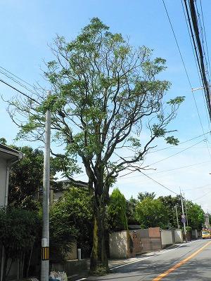 シンジュの木 全景