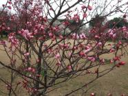 桜狩 (3)