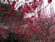 鹿児島紅 (3)