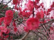 鹿児島紅 (2)