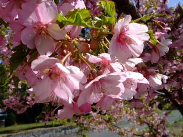河津桜 (2)