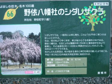 野依八幡枝垂れ桜 (6)