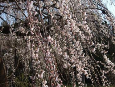 野依八幡枝垂れ桜 (5)