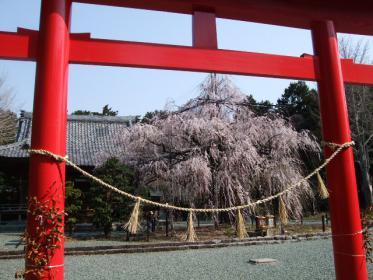 野依八幡枝垂れ桜 (1)