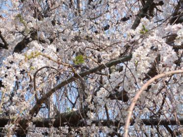野依八幡枝垂れ桜 (7)