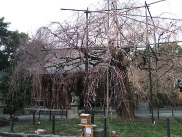 野依八幡の枝垂れ桜 (4)