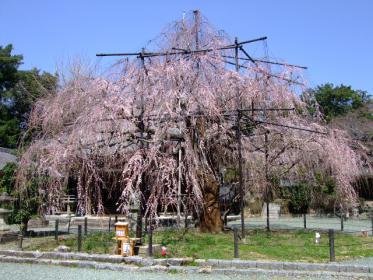 枝垂れ桜 (1)