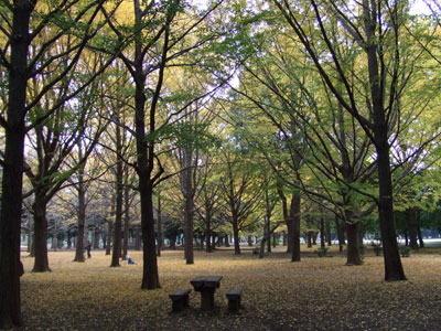 代々木公園 銀杏の森
